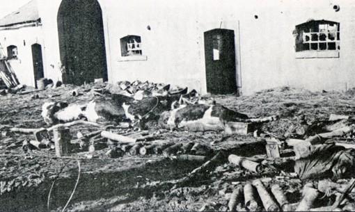 """Während der Adennenoffensive im Dezember 1944, unter der Mensch und Tier zu leiden hatten, wurde die Doppelortschaft fast vollständig zerstört. Foto: Totes Vieh vor dem Haus """"Krénkjes"""" in Krinkelt. Die Aufnahme datiert von Anfang Februar 1945."""